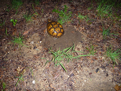 Box Turtle laying eggs and baby turtles emerging from nest