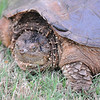OK, here's the business end of a Snapping Turtle, a 70-200 keeps you just out of reach!