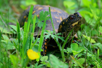Turtle on the Parkway - 6/14/07