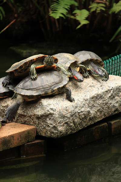 Turtles all stacked up, Hollywood Road Park, Hong Kong