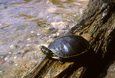 Western Painted Turtle (Chrysemys picta bellii) Pigeon Lake, Bayfield Co., WI, Summer 1965
