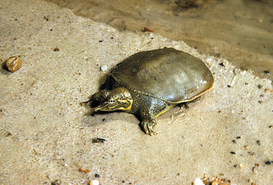 Spiny softshell Turtle (Apalone spinifera) Big Bend National Park, TX, 1958