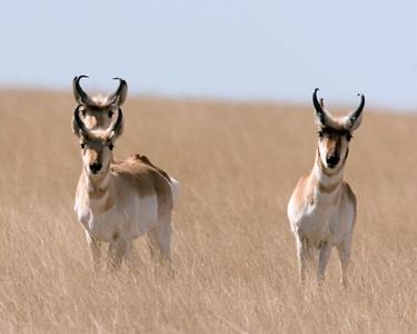 3  antelope