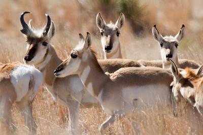 6 antelope