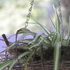 Carolina wren feeding babies
