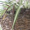 Carolina wren fledgling #2