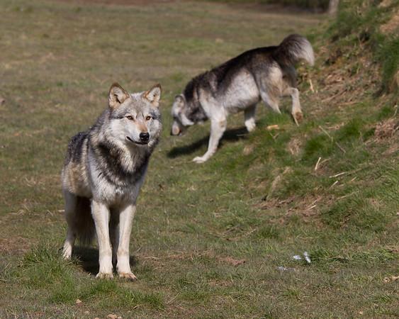 Northwestern Wolf