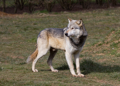 Northwestern Wolf