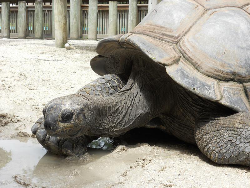 Turtle in Gatorland