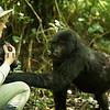 Close encounter of the gorilla kind