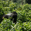 That is why they are called Silverbacks