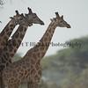 Rothchild's Giraffes