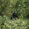 Silverback gorillas