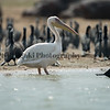 Great White( Eastern) Pelican