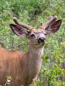 Invermere town deer (mule deer?). June 2012.