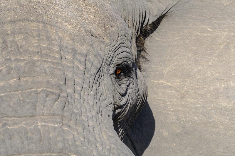 Elephant | Botswana