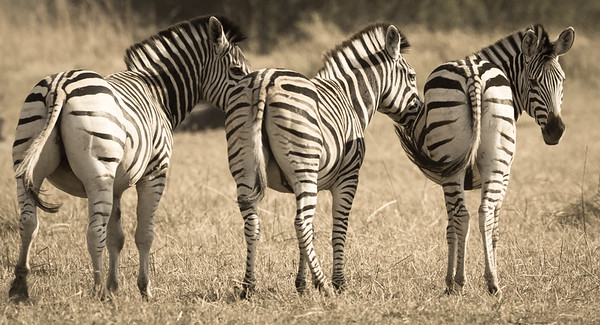 Zebras | Botswana