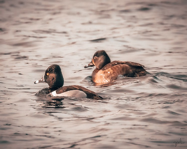 A pair of Ring-neck Ducks