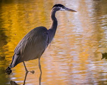 Heron in the golden light