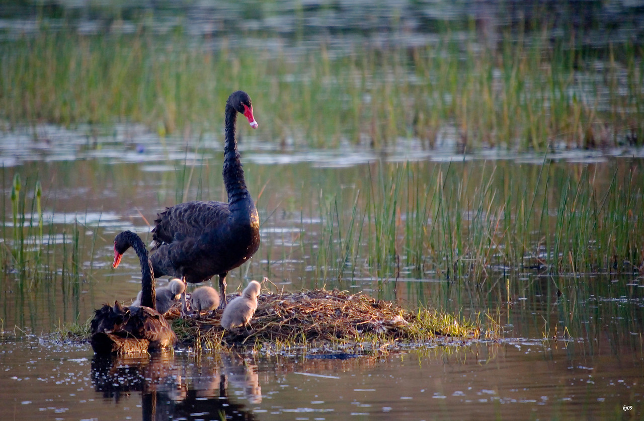 Black Swans Arousing the Morning