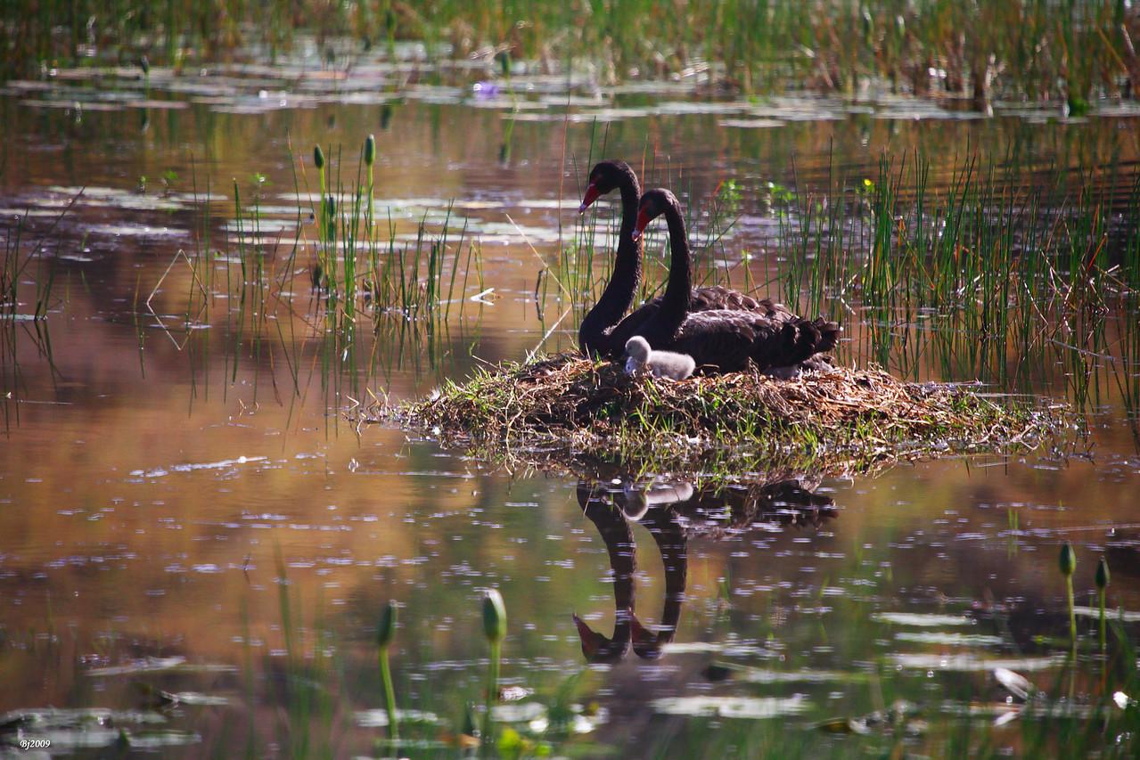 Black Swans' Nest