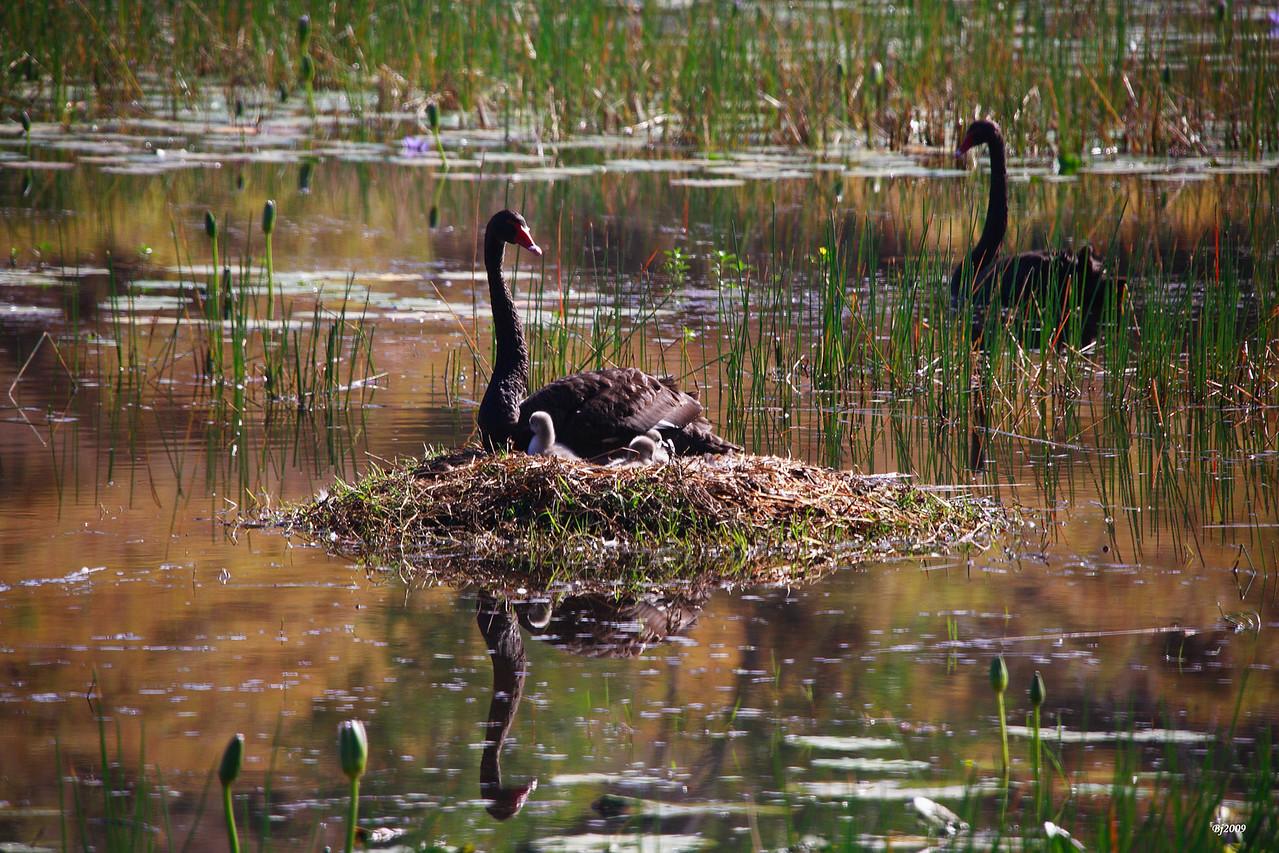 Black Swans: Raising the Family