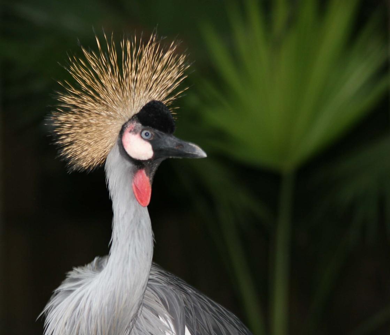 Regal Status: Ugandan Crowned Crane