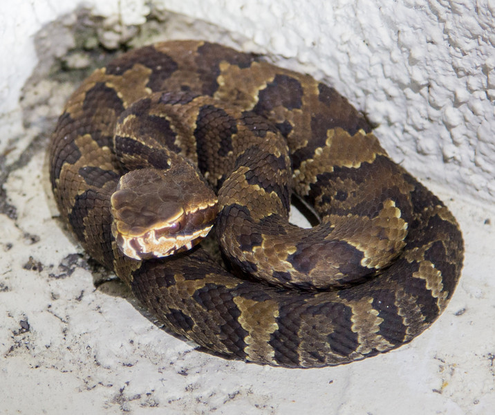 Baby Cottonmouth - Brighter