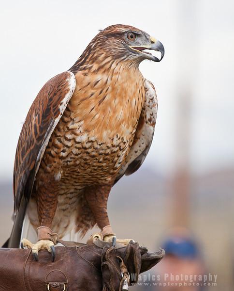 Hawk-6242