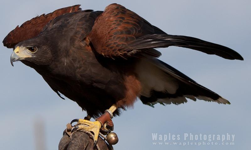 Hawk-6271