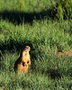 Prairie Dog @ Sunset, Bryce National Park