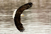 Utica, IL, Starved Rock Eagles : A quick visit to the Illinois River at Utica, I appologize for the flat color, best I could do without the sun. Images are best seen: XLarge