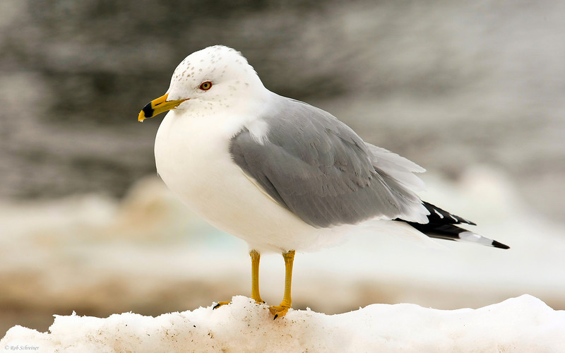 I'm not a fan of the Gull, but when he gave me a closeup like this, I felt obliged to take it.