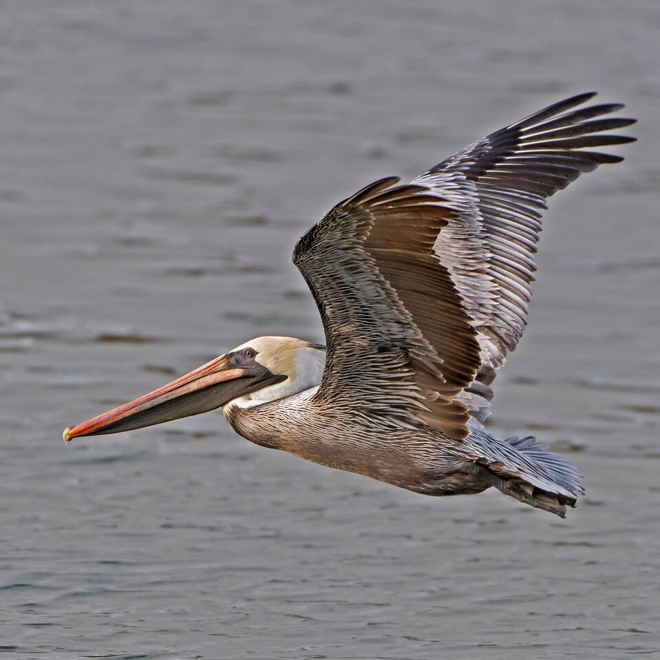 Mature Brown Pelican