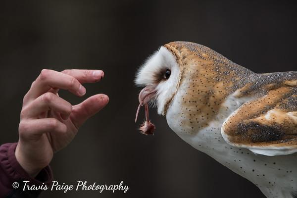 raptors in focus barn owl