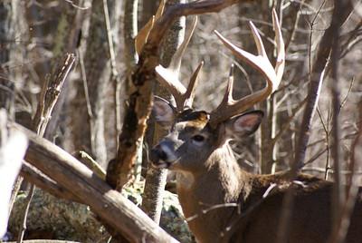 9 pt. Buck (2)