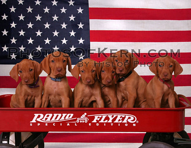 VIZSLA PUPIES BEST PHOTOS