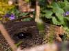 Groundhog, hiding(!)