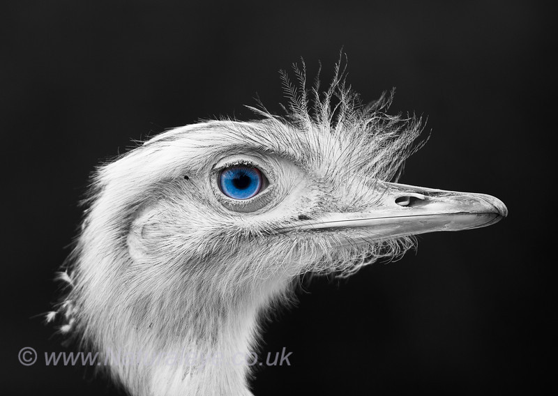 One of our two resident Rheas