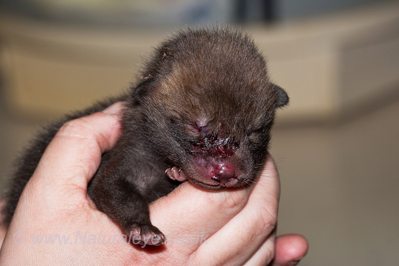 First Fox Cub of the year March 12th 2011.  We think this cub had been attacked by a cat.