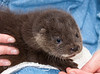 Orphaned Otter Cub