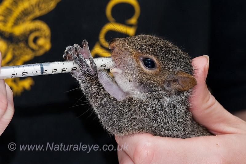 Hand feeding a baby Grey Squirrel