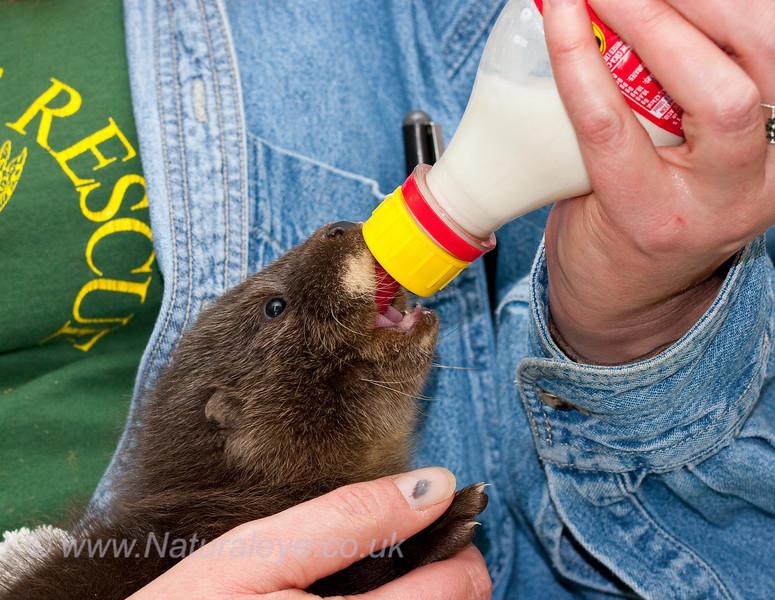 Orphaned Otter Cub
