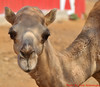 12-30-2013-Camel1