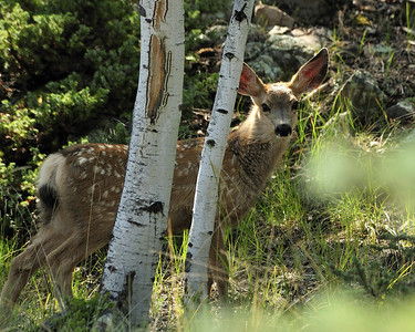 One of twin fawn deer seen with their mother near Williams Creek Colorado.