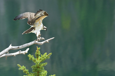 Osprey ready to hunt fish at Lake City, Colorado.