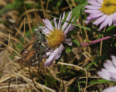 Dinner date of moth butterflys.  Could be a mountain aster they are sitting on near Silverton CO.