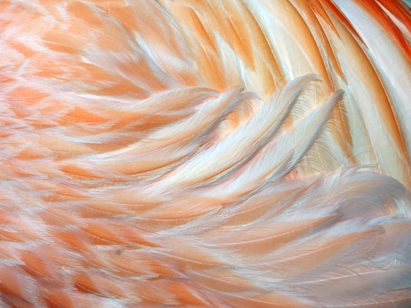 Flamingo Feathers 2
