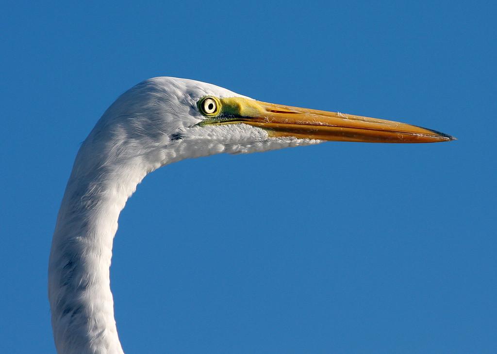 Snowy Egrets head