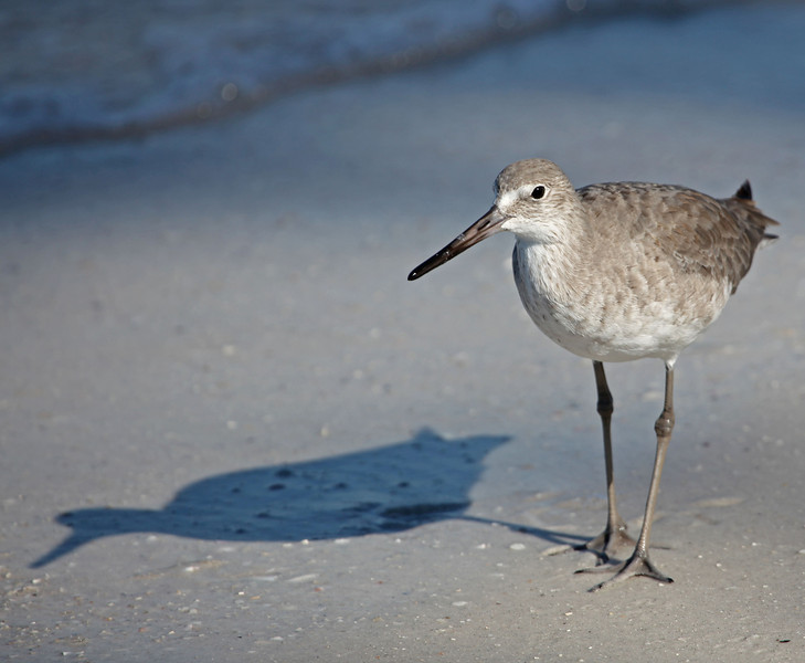 Me and my shadow - a Willet strolls along Longboat Quay, Saerasota, FL